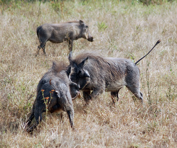 Warthogs Fighting in Balule Game Reserve