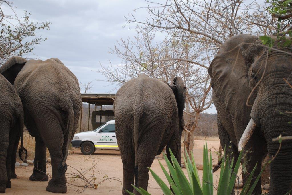 Elephants outside Tremisana Lodge. Kruger Park safaris with Viva Safaris