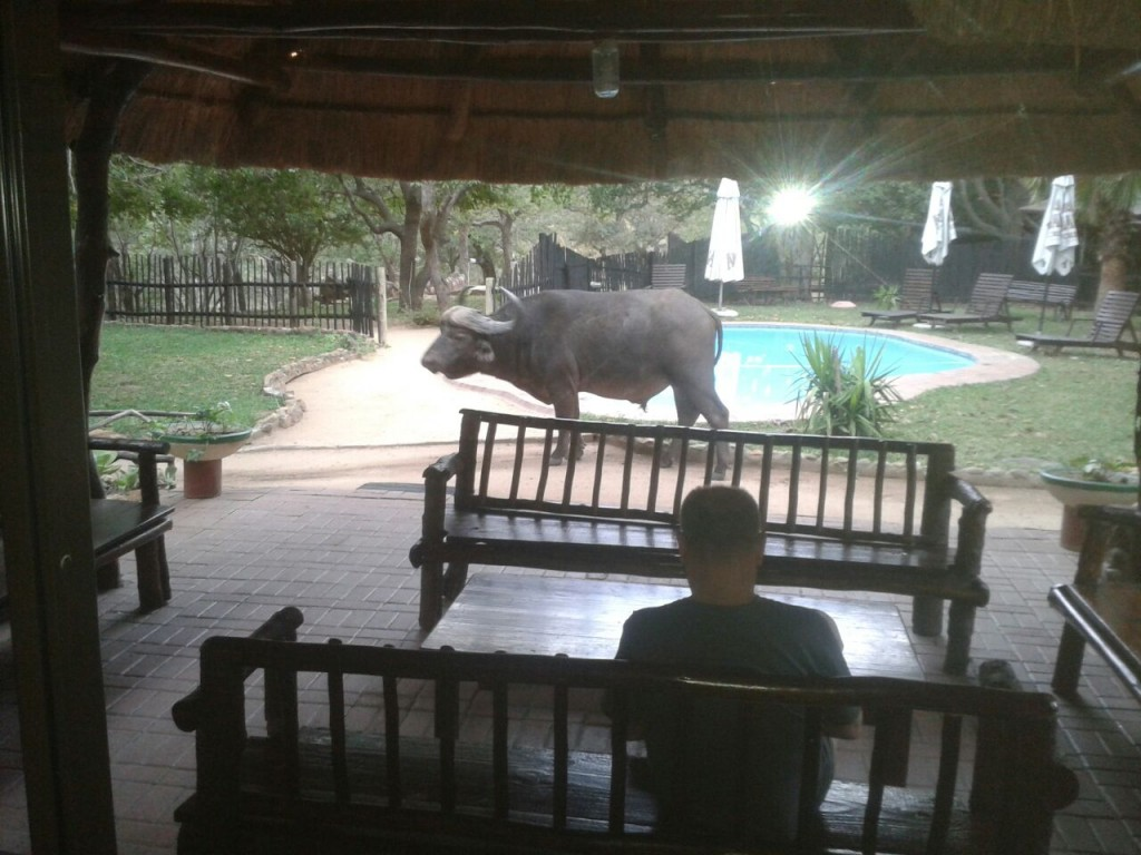 Guest watches buffalo at Marcs Treehouse Lodge swimming pool