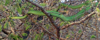 Large boomslang in tree
