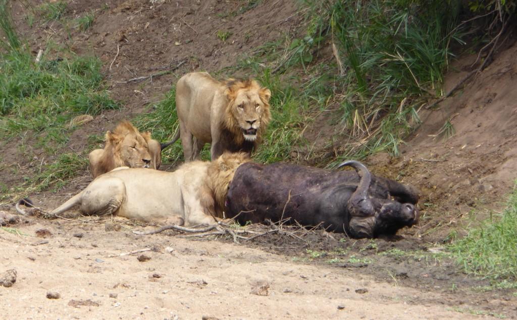 Lions on buffalo kill