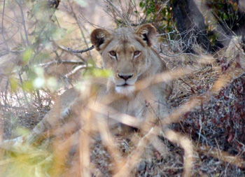 Lioness near Satara