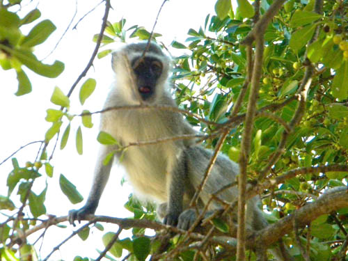 Vervet Monkey at Tremisana