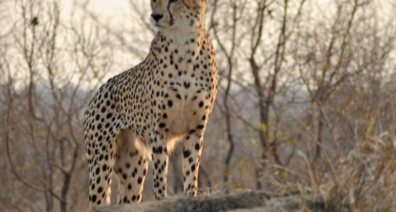 Cheetah in Kruger Park