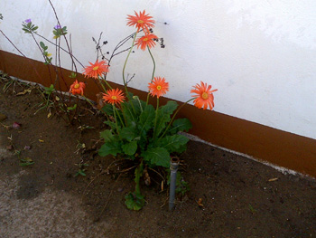Barbeton daisies at Tremisana Lodge