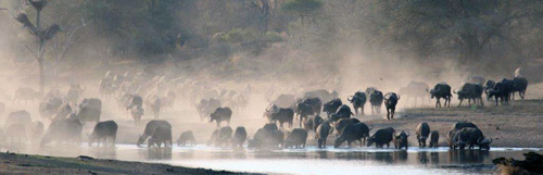 Huge herd of buffalo raising dust on their way to waterhole
