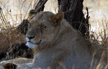Lioness resting in shade