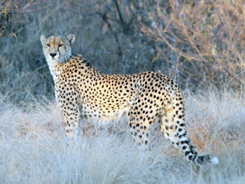 Great shot of Cheetah