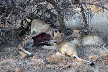 Lions on young giraffe kill