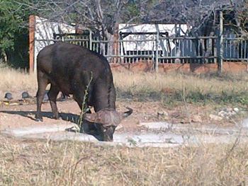 Buffalo drinking from waterhole in front of Tremisana Lodge Lapa