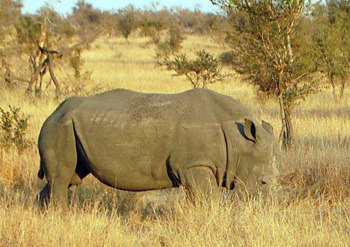 Large White Rhino bull