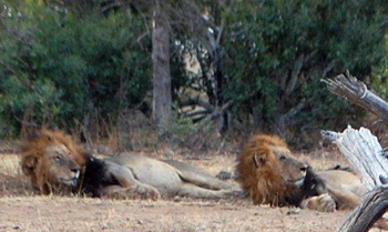 Lazy lions, relaxed after a good meal, look towards impala herd.