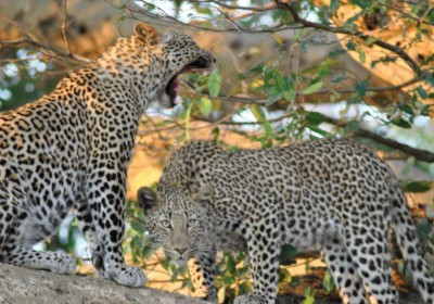 Leopards spotted in a tree