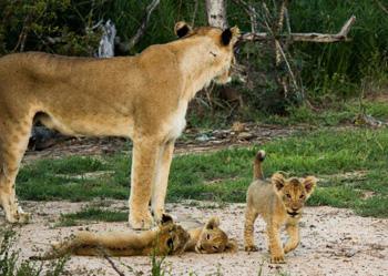 Adorably cute lion cubs.