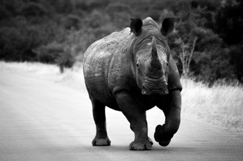Big White Rhino bull on the road staring us down.