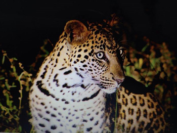 Wesley's brilliant photo of young male leopard seen regularly near Tremisana
