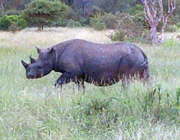 Black Rhino cow seen on a Bush Walk