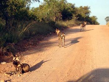 Wild Dogs near Marula Tree Boma