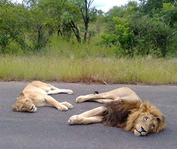 Mating pair of lions on tar road