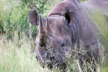Black rhino near our vehicle