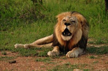 Magnificent lion male