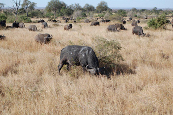 Buffalo herd near Satara