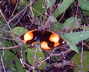 Yellow Pansy butterfly seen on Bush Walk