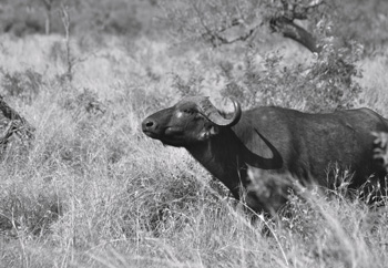 Buffalo near our open Landcruiser