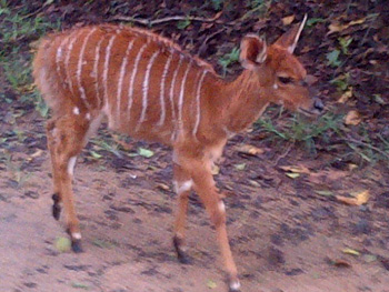 Young Nyala near the Breakfast Boma
