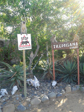 Monkeys at welcoming area of Tremisana Lodge.