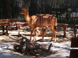 Nyala Ewe and newborn lamb at Boma