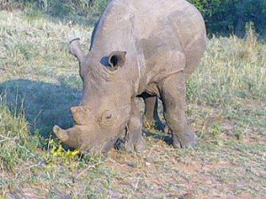 White Rhino close to open vehicle at Tshukudu