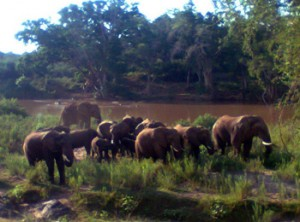 Herd of elephants seen on foot during Bush walk along Olifants River