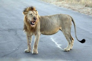Lion with bloodied face on the tar road right next to our open vehicle.
