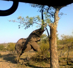 Elephant stretching to get leaves.