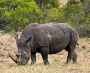 White Rhino seen on Bush Walk.