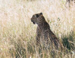 Leopard seen near impala.