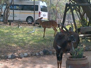 Nyala herd close to us while eating from our garden.