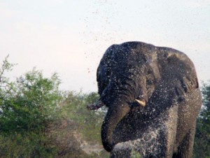 Elephant spraying everything around him at Tremisana waterhole.