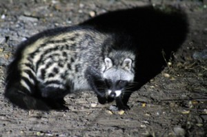Civet seen scavenging at Viva Safaris' Marula Boma.
