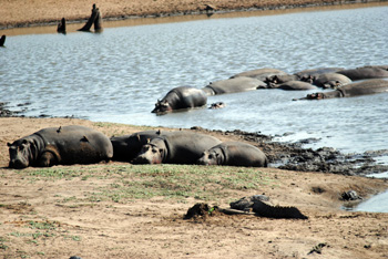 Hippo pod in dwindling water at Nsemane Dam