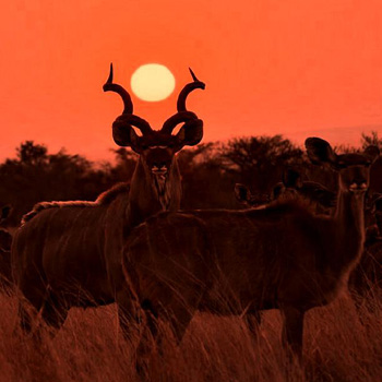 Outstanding photo of kudu at Sunset.