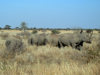 Herd of Rhino
