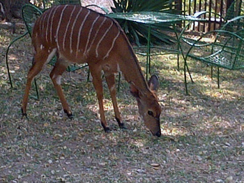 Nyala grazing in Treehouse Lodge gardens.