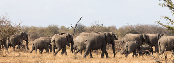 Large herd of elephants near Tremisana Lodge.