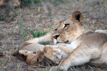 Lioness and cubs so close to the Landcruiser.