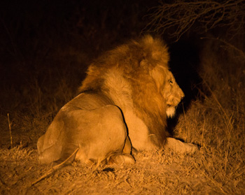 Big male lion under the spotlight