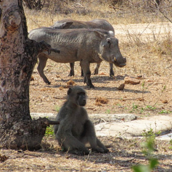 Chacma Baboon and warthogs at Tremisana waterhole