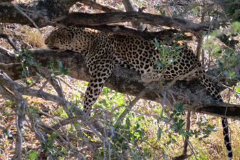 Great sighting of leopard
