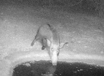 Bushpig shot taken by Camera trap at Tremisana waterhole.